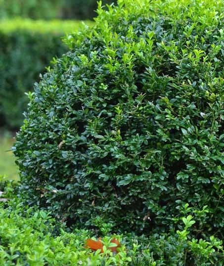 ProScape Landscaping Shrubs & Hedges